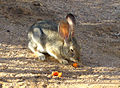 California High Desert Cottontail Enjoying a Carrot Breakfast.jpg