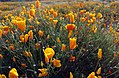 California poppy near Lake Elsinore, CA (32754112204).jpg