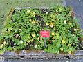 Calla palustris - Botanischer Garten, Frankfurt am Main - DSC02513.JPG