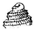 Calliostoma kiheiziebisu apex.png