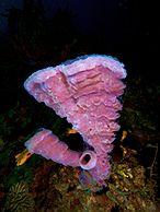 Callyspongia vaginalis (Branching Vase Sponge - pink variation)