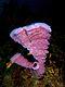 Callyspongia vaginalis (Branching Vase Sponge - pink variation).jpg