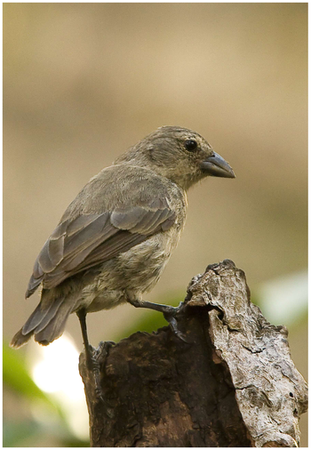 English: A mangrove finch, the rarest of Darwi...