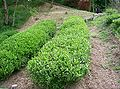 Camellia sinensis1.jpg