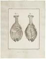 Camelus dromedarius - hoeven - 1700-1880 - Print - Iconographia Zoologica - Special Collections University of Amsterdam - UBA01 IZ21600001.tif