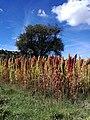 Campos de amaranto en el estado de Tlaxcala-Teacalco México.jpg