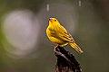 Canário-da-terra-verdadeiro (Sicalis flaveola) - Saffron Finch.jpg