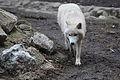 Canis lupus arctos IMG 9097.jpg