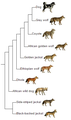 Canis phylogeny (eng).png