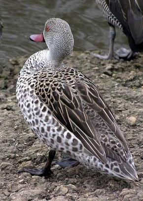un oiseau à trouver - ajonc - 28 septembre bravo Jovany 290px-Cape.teal