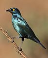 Cape Glossy Starling, Lamprotornis nitens, at Walter Sisulu National Botanical Garden, Gauteng, South Africa (29499550905).jpg