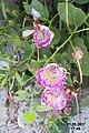 Caper flowers (Xigia) (34703263070).jpg