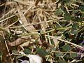 Capparis spinosa (6720216305).jpg
