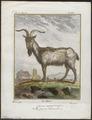 Capra aegagrus - 1700-1880 - Print - Iconographia Zoologica - Special Collections University of Amsterdam - UBA01 IZ21300197.tif