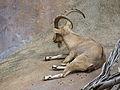 Capra nubiana (124136080).jpg