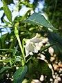 Capsicum frutescens (2).jpg