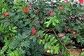 Carbonerito rojo (Calliandra haematocephala) (16264136981).jpg