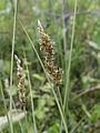 Carex diandra Oulu, Finland 18.06.2013 img 2.jpg