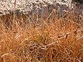 Carex filifolia (3809177600).jpg