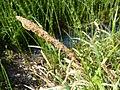 Carex pendula inflorescens (5).jpg