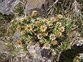 Carlina vulgaris Aubrac.jpg