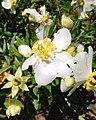 Carpenteria californica 1.jpg