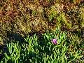 Carpobrotus glaucescens and Sesuvium portulacastrum at verge of dune and salt marsh communities Nudgee Creek Nudgee Beach Bramble Bay Queensland P1040577.jpg