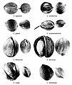 Carya nuts.jpg