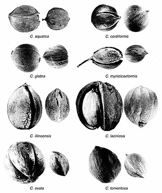 Hickory - Image: Carya nuts