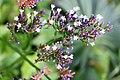 Caryophyllales - Limonium vulgare - 3.jpg