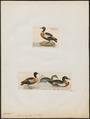 Casarca tadornoïdes - 1700-1880 - Print - Iconographia Zoologica - Special Collections University of Amsterdam - UBA01 IZ17600293.tif