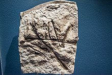 Cast of Scleromochlus taylori - Pterosaurs Flight in the Age of Dinosaurs.jpg