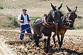 Castrillo de Villavega Festival of La Trilla Plowing 004.jpg