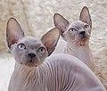 Cat - Sphynx. img 011.jpg