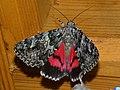 Catocala promissa - Light crimson underwing - Орденская лента малая красная (25993292617).jpg