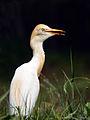 Cattle egret (Bubulcus coromandus).jpg