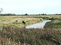 Cattle grazing marsh pasture - geograph.org.uk - 1445600.jpg