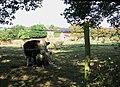 Cattle pasture beside Pound Lane - geograph.org.uk - 1510081.jpg