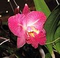 Cattleytonia Capri Lea -香港沙田洋蘭展 Shatin Orchid Show, Hong Kong- (9207605000).jpg