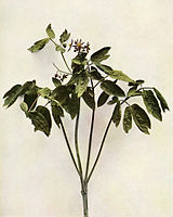 Caulophyllum thalictroides WFNY-075.jpg