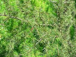 Lebanon Cedar foliage