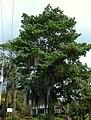 Ceiba verde (Pseudobombax septenatum) - Flickr - Alejandro Bayer.jpg