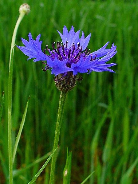File:Centaurea cyanus 0002.JPG