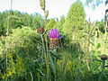 Centaurea jacea 20060719 001.jpg