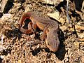 Central Newt (Notophthalmus viridescens louisianensis) - Flickr - GregTheBusker (2).jpg