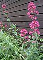 Centranthus ruber (1).jpg
