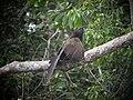 Centropus phasianinus -Papua New Guinea-8.jpg