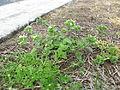 Cerastium glomeratum plant10 (14975975017).jpg