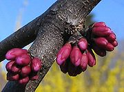 Cercis canadensis flower buds - ready to pop P.2005.04.04.jpg