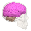 Cerebral hemisphere - 02.png